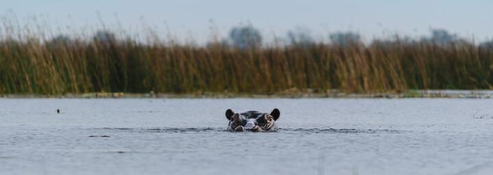 Nilpferd im Okavango Delta in Botswana