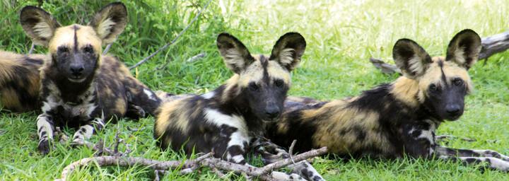 Selous Wildreservat - Wildhunde