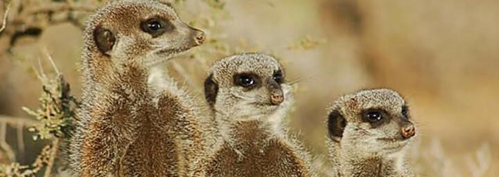 Reisebericht Südafrika: Erdmännchen in Oudtshoorn