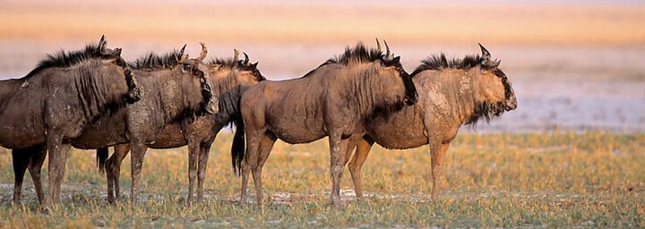 Gnus im Etosha Nationalpark