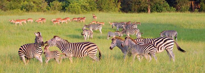 Zebras auf grüner Wiese im Krüger Nationalpark