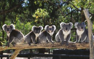 Koalas auf einem Baumstamm