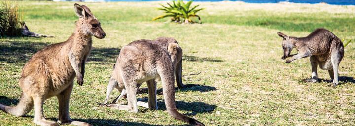 Kängurus am Pebbly Beach