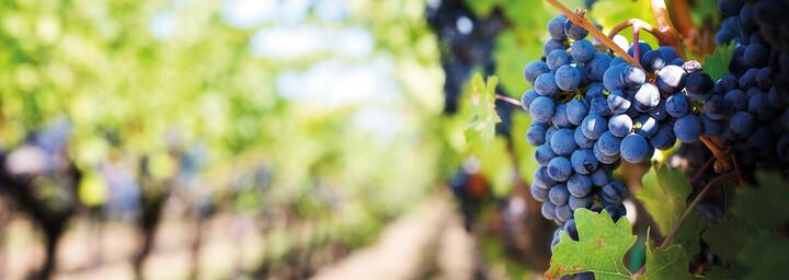 Weinreben im Napa Valley