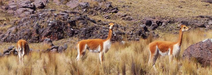 Vicuñas Peru