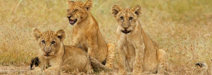 Löwenkinder im Selous Wildreservat