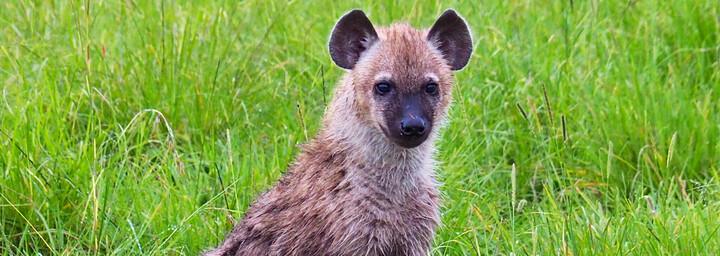Kenia Reisebericht - Hyäne in der Masai Mara