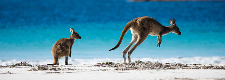 Kängurus am Strand in Australien