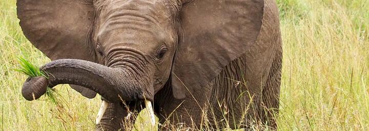 Kenia Reisebericht - Elefantenbaby im Masai Mara Reservat