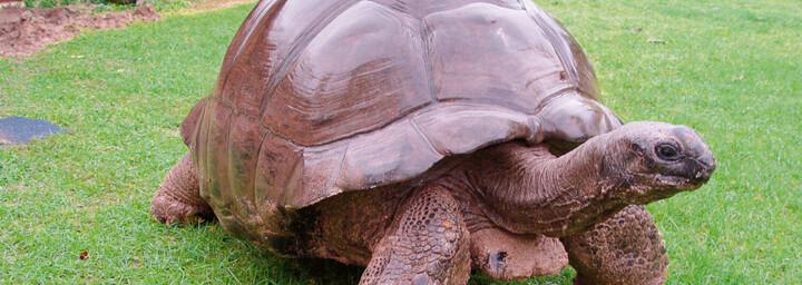 Riesenschildkröte auf den Seychellen