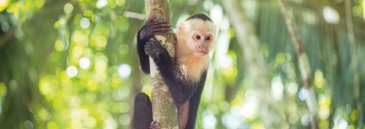 Affe im Manuel Antonio Nationalpark