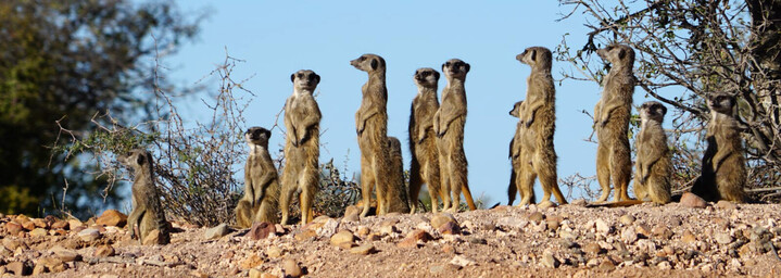 Oudtshoorn - Erdmännchen
