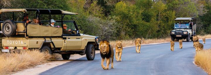 Safari im Krüger Nationalpark - Löwen