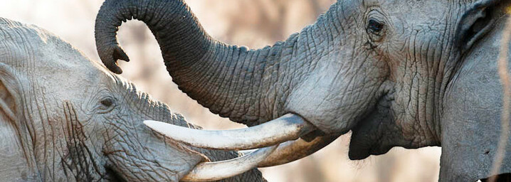 Elefanten im South Luangwa Nationalpark in Sambia