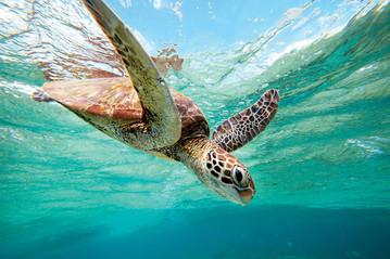 Reisebericht Australien: Schildkröte