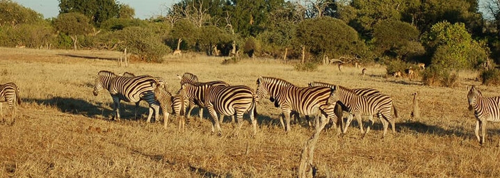 Reisebericht Südafrika: Zebras im Mashatu Game Reserve