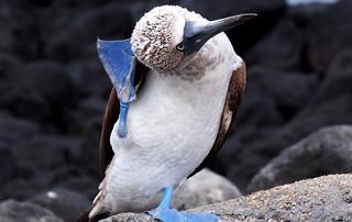 Galápagos Reisebericht - Blaufußtölpel auf San Cristóbal