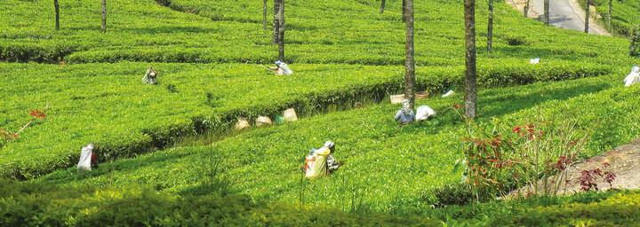 Sri Lanka - Teepflückerinnen