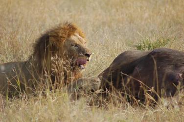 Südafrika Reisebericht: Löwe mit erlegter Beute im Mala Mala Game Reserve
