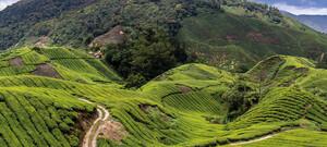 Teeplantagen in den Cameron Highlands