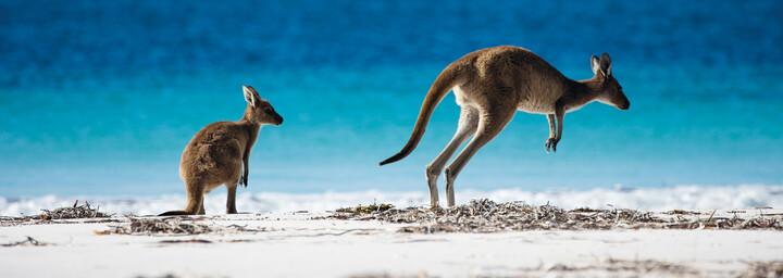 Esperance Kängurus am Strand