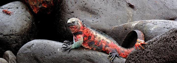 Ecuador und Galápagos Reisebericht - Echse auf Felsen