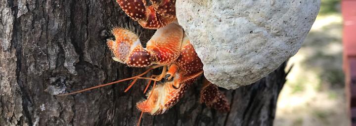 Cook Inseln Reisebericht - Krabbe am Baum