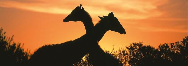 Giraffen im Krüger Nationalpark