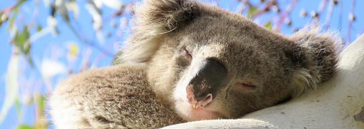 Koala Recovery Experience schlafender Koala