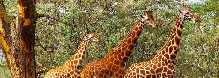 Kenia Reisebericht - Giraffen am Lake Nakuru