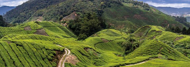 Cameron Highlands Teeplantagen