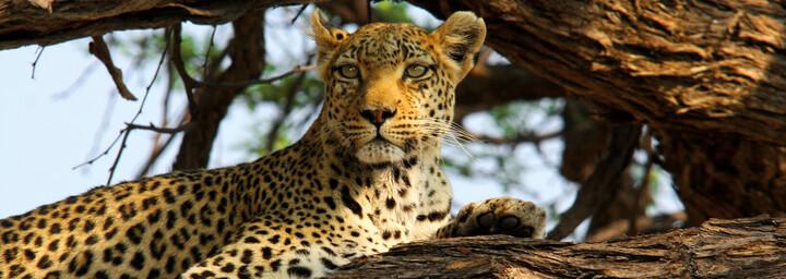 Leopard im Khwai Gebiet