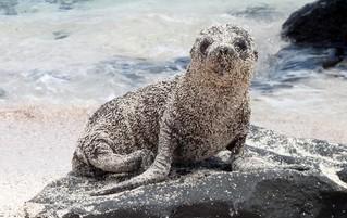Galápagos Reisebericht - Seelöwenjunges auf San Cristóbal