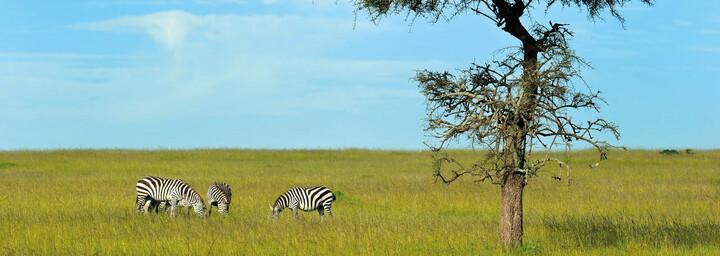 Zebras Masai Mara Kenia