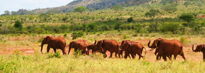 Elefantenherde im Tsavo Nationalpark, Kenia