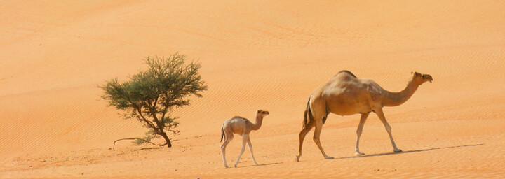 Kamele in der Wahiba Sands