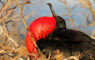Galápagos Reisebericht - Balzender Fregattvogel auf North Seymour