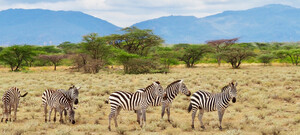 Zebras im Samburu Game Reserve