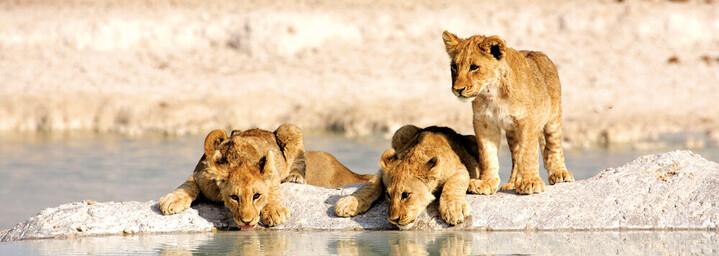Löwenkinder im Etosha Nationalpark