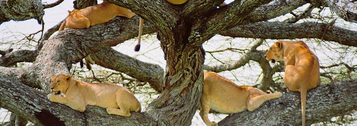 Baumlöwen im Lake Manyara Nationalpark