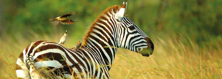 Zebra im Selous Wildreservat, Tansania